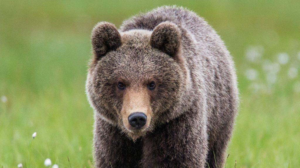 Björnarna i samebyn fällda