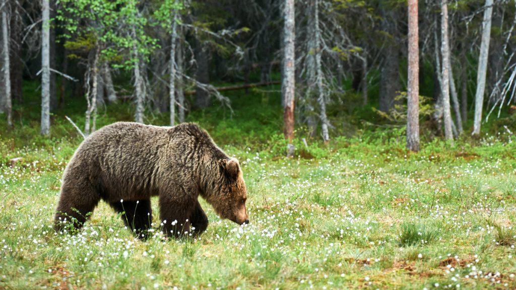 olaglig björnjakt