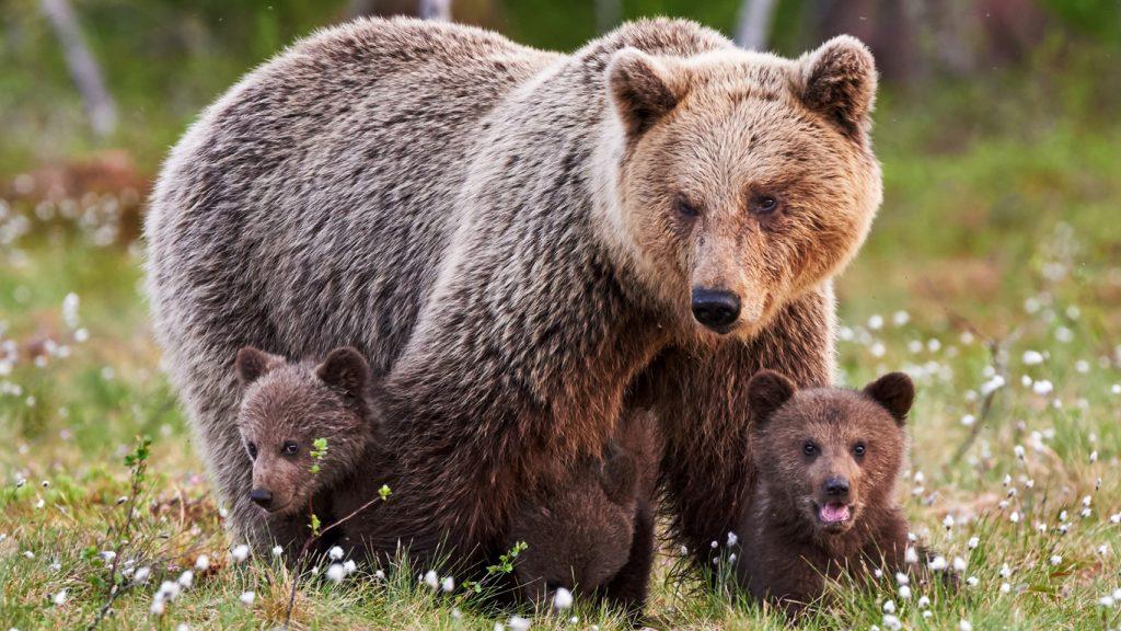 Björnunge påkörd