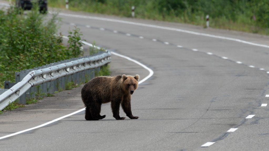Eftersök på björn i Dalarna